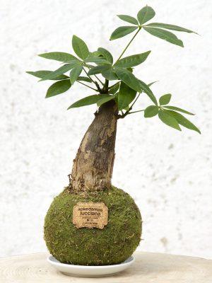 Kokedama Pachira de un solo tronco