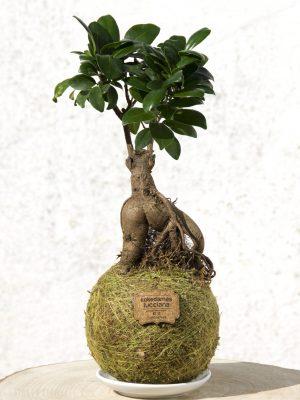 Kokedama Ficus Gingseng (Pre Bonsai)