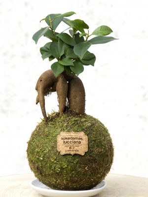 Kokedama Gingseng Mini